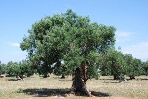 A HUNDRED YEAR OLD OLIVE TREE