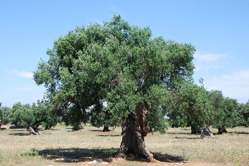 The Olive Tree Symbolism Bible Truths Revealed
